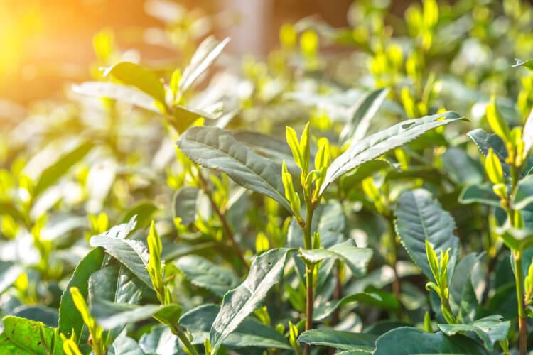 Yeşil Çayın Saç Sağlığına Faydaları-1