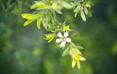 Çay Ağacı Yağının Tüm Faydaları